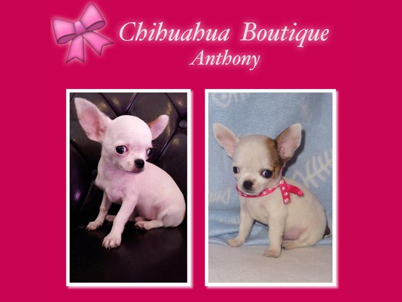 Negozio Cani Chihuahua Latina Chihuahua Boutique